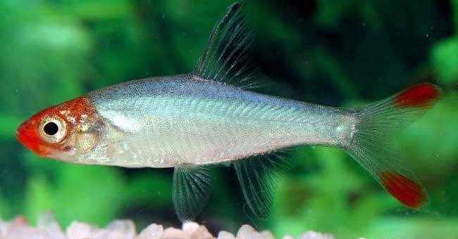 Rasboras live tropical fish for sale for Good community fish