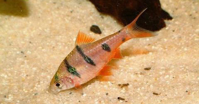 Live Barb Fish For Sale!
