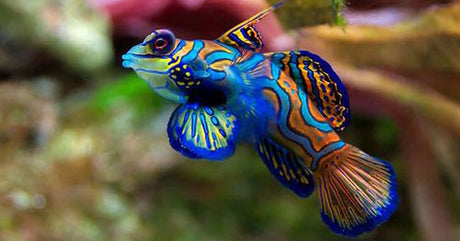 Salt-Water Goby