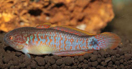 Goby Freshwater