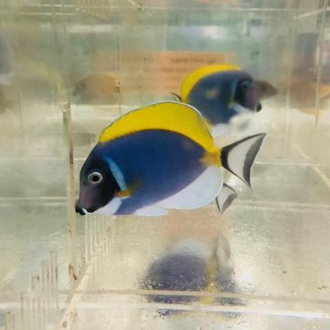 Powder Blue Tangs