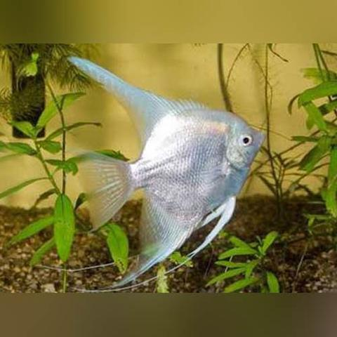 freshwater platinum angelfish