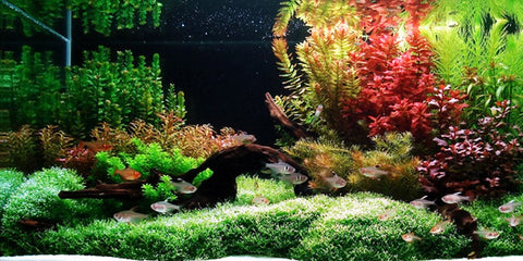 dutch style aquascaping