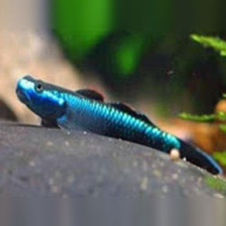 Blue Neon Stiphodon (medium)