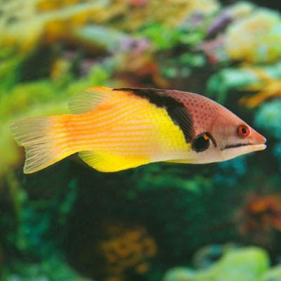 Coral Hogfish