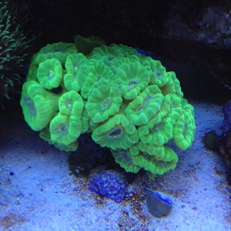 Candy Cane Coral (Medium)