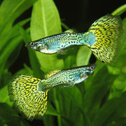 Green Cobra Guppy (Pair)