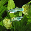 Green Cobra Guppy Pair