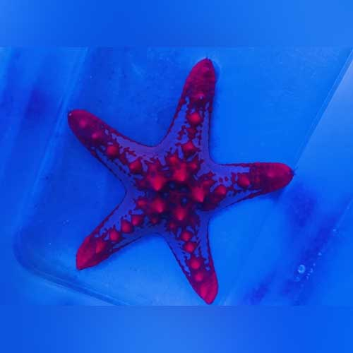 African Red Starfish - Protoreaster linckii