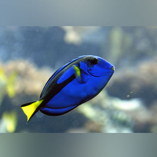 African Yellow Belly Blue Tang - Paracanthurus hepatus