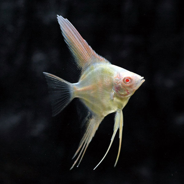 Premium saltwater fish for sale online. Buy saltwater fish online from agencja-nieruchomosci.tk, one of the best saltwater fish stores in USA. At our online saltwater fish store, we guarantee healthy saltwater aquarium fish such as captive bred and captive raised fish .
