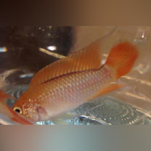 Apistogramma Agassizi Orange Laser (Pair)