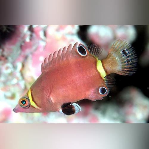 Arrowhead Possum Wrasse