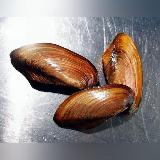Asian Gold Clam