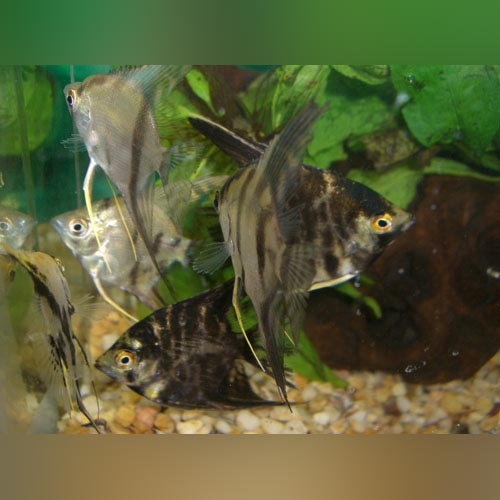 "Assorted Angelfish 2"" Lot of 4"
