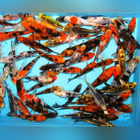 "Assorted Butterfly Koi - 6-7"" (Lot of 4)"