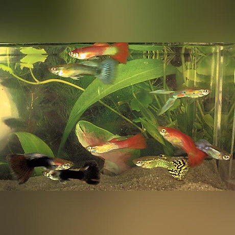 Assorted Color Male Guppies (Lot of 6)