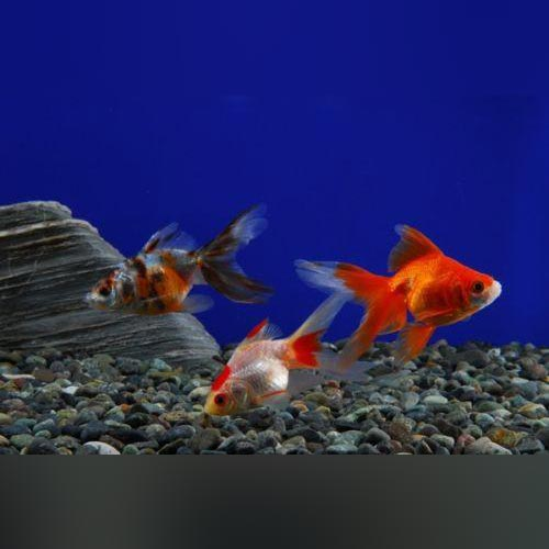 "Assorted Fantail Goldfish 2"" (Lot of 4)"