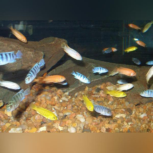 African Cichlid Assortment (Lot of 8)