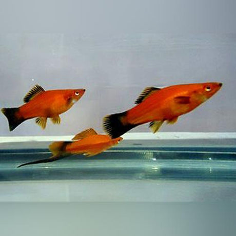 Assorted Swordtails (Lot of 6)