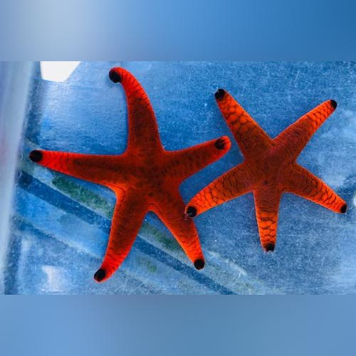 Black Tip Starfish