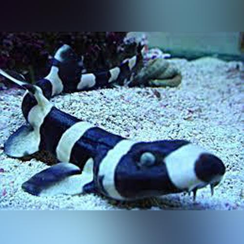 Banded Cat Shark