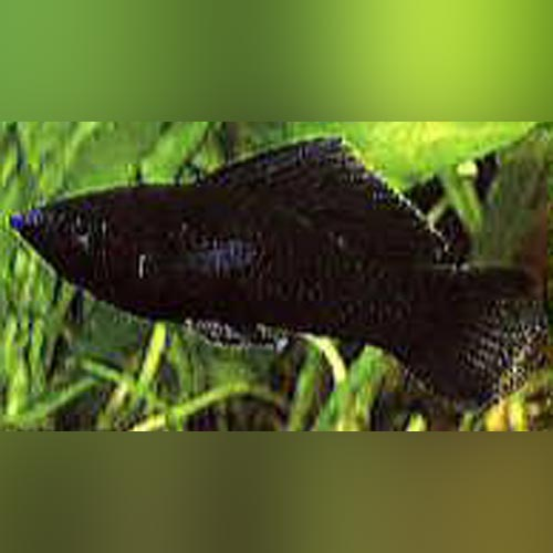 Black Sailfin Molly (pair)