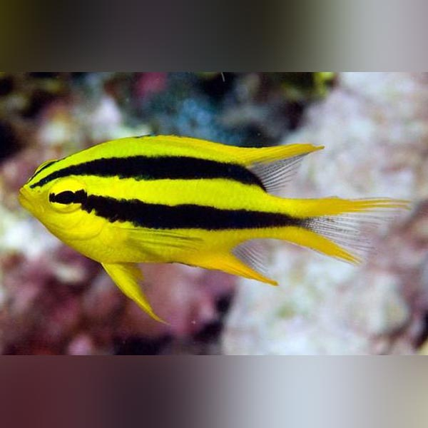 Black and Gold Chromis