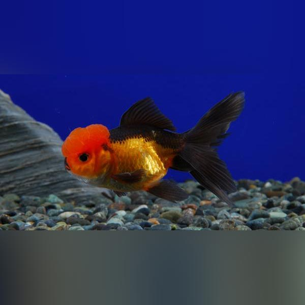 Black and Red Oranda Goldfish