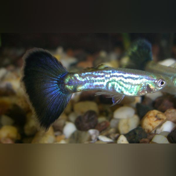 Blue Cobra Guppy (Pair)