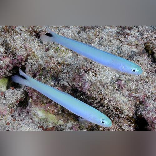 Blue Gudgeon Goby