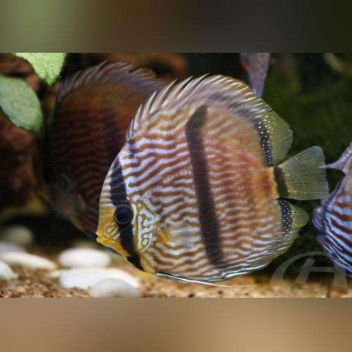 Blue Heckel Discus WILD Fish