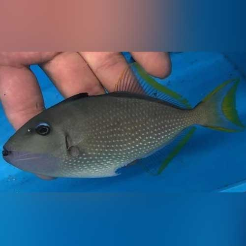 Blue Jaw Triggerfish (male)