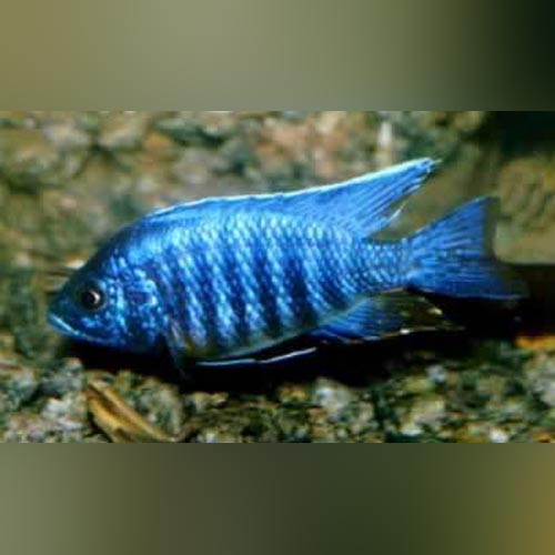 Peacock Cichlid Blue