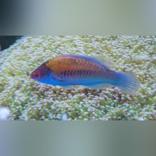 Blue Sided Wrasse