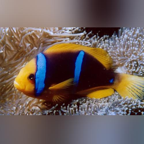 Blue Stripe Clownfish