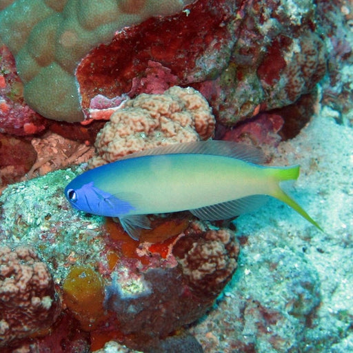 Tile Blue Face Goby