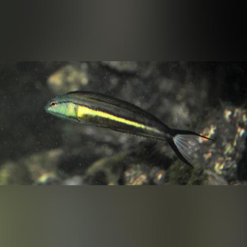 Bundoon Blenny