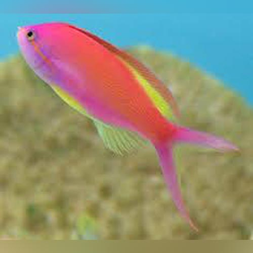 Carberri Anthias