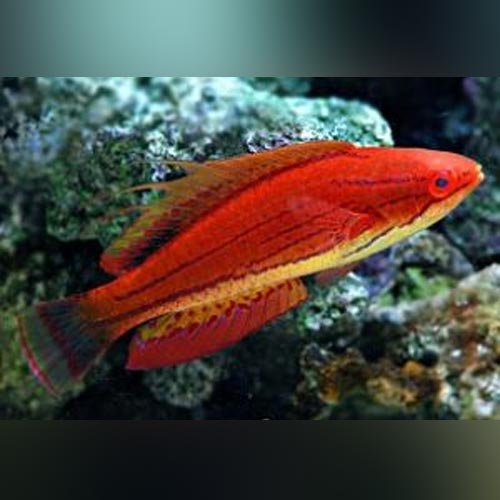 Carpenters Fairy Wrasse