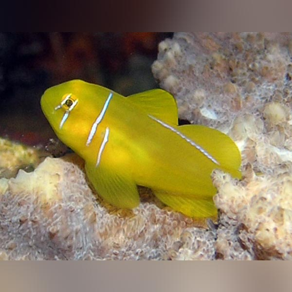 Clown Citron Goby