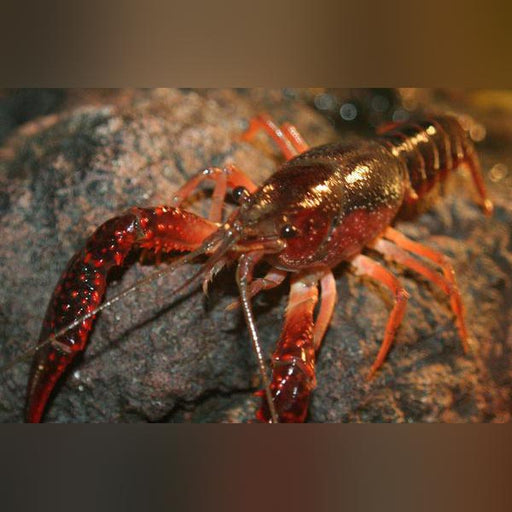 Common Red Lobster