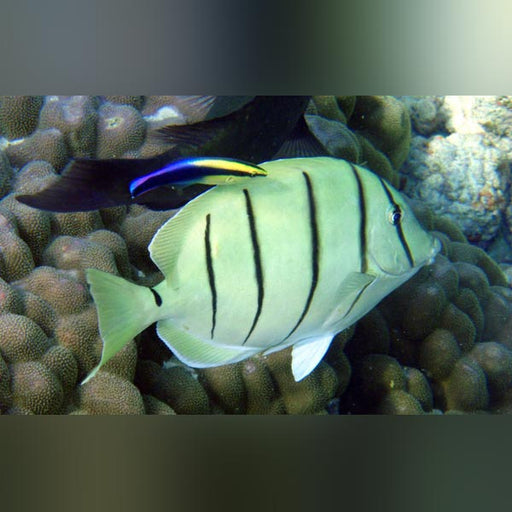 Convict Tang