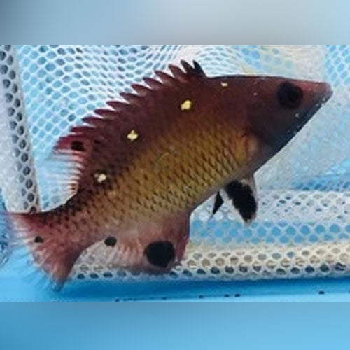 Diana Hogfish - AquariumFishSale.com