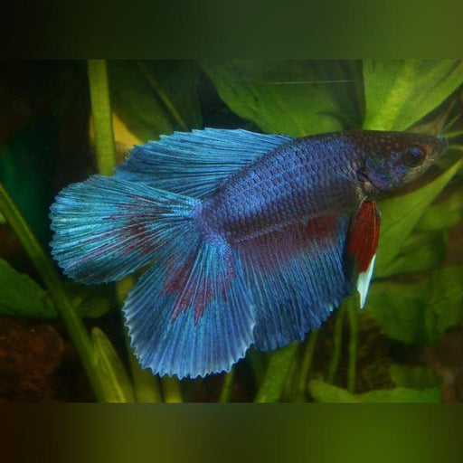 Double Tail Veil Betta Male