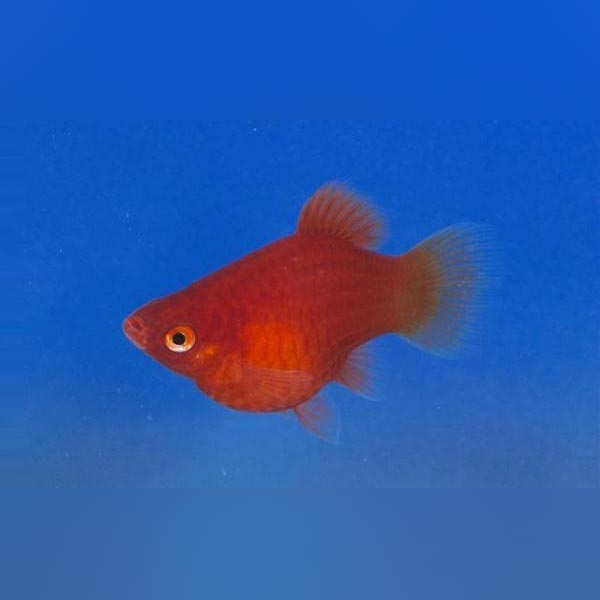 Dwarf coral red platy live for Live fish for sale