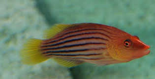 Eight Line Wrasse