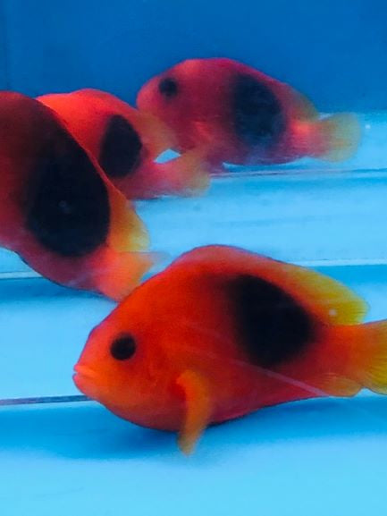 Red Saddle Clownfish