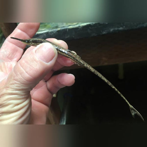 Farlowella Long Nose Catfish
