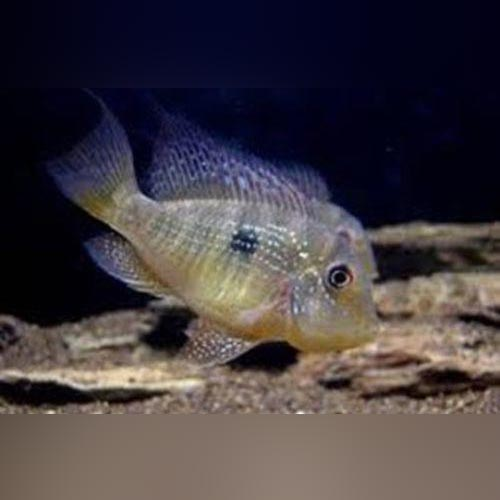 Fat Head Balzini Cichlid